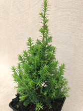 Load image into Gallery viewer, Shrub - Chamaecyparis thyoides 'Top Point White Cedar' (4 Inch)