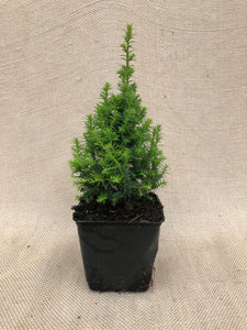 Shrub - Chamaecyparis thyoides 'Top Point White Cedar' (4 Inch)