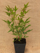 Load image into Gallery viewer, Shrub - Nandina domestica 'Heavenly Bamboo' (4 Inch)