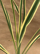 Load image into Gallery viewer, Perennial - Yucca filamentosa 'Bright Edge Yucca' (4 Inch)