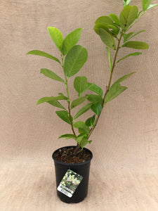 Shrub - Prunus 'English Laurel' (1 Gallon)