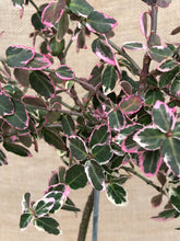 Load image into Gallery viewer, Shrub - Euonymus fortunei 'Emerald Gaiety' (6 Inch Standard Topiary)