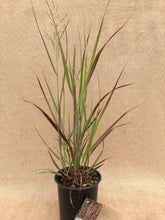 Load image into Gallery viewer, Grass - Panicum virgatum 'Prairie Flame Switch Grass'  (1 Gallon)