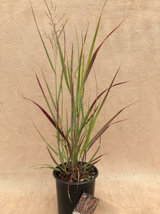 Grass - Panicum virgatum 'Prairie Flame Switch Grass'  (1 Gallon)