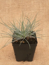 Load image into Gallery viewer, Grass - Fescue glauca 'Elijah Blue' (4 Inch)