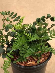 Fern - Tropical Ferns (2 Gallon)