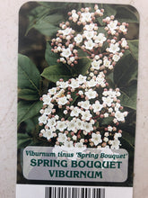 Load image into Gallery viewer, Shrub - Viburnum 'Spring Bouquet' (1 Gallon)