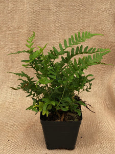Fern - Polypodium glycyrrhiza 'Licorice Fern' (4 Inch)