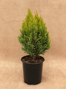 Shrub - Champaecyparis 'Ellwood's Empire Golden Euro Cypress' (1 Gallon)