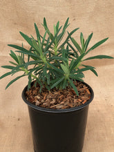 Load image into Gallery viewer, Perennial - Euphorbia characias 'Shorty Spurge' (1Gallon)