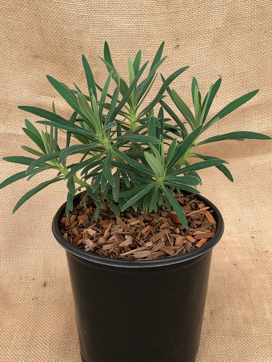 Perennial - Euphorbia characias 'Shorty Spurge' (1Gallon)