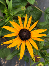 Load image into Gallery viewer, Perennial - Rudbeckia 'Goldsturm' (1 Gallon)