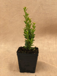 Shrub - Ilex 'Upright Holly' (4 Inch)