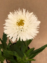 Load image into Gallery viewer, Perennial - Leucanthemum 'Sante Shasta Daisy' (1 Gallon)