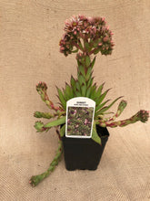Load image into Gallery viewer, Succulent - Sempervivum 'Sunset Hens & Chicks' (4 inch)