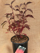 Load image into Gallery viewer, Shrub - Cornus stolonifera 'Red Twig Dogwood' (1 Gallon)