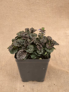 Ground Cover - Ajuga 'Metallica Crispa Bugleweed' (4 inch)