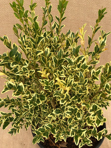 Shrub - Buxus sempervirens 'Variegated English Boxwood' (1 Gallon)