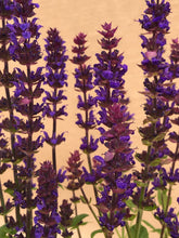 Load image into Gallery viewer, Perennial - Salvia 'New Dimensions Blue' (4 Inch)