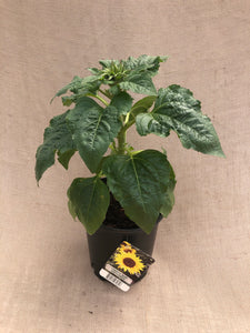Annual - Helianthus 'Choco SunFlower' (1 Gallon)