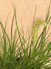 Load image into Gallery viewer, Grass - Pennisetum alopecuroides 'Little Bunny Dwarf Fountain Grass'  (1 Gallon)