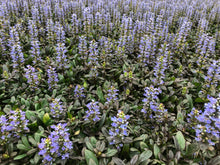 Load image into Gallery viewer, Ground Cover - Ajuga reptans 'Chocolate Chip Bugleweed' (4 inch)
