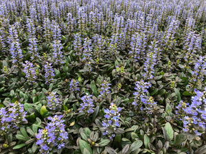 Ground Cover - Ajuga reptans 'Chocolate Chip Bugleweed' (4 inch)
