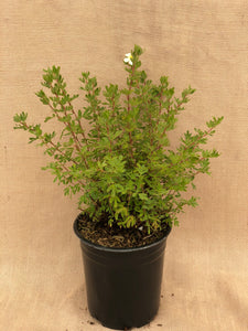 Shrub - Potentilla fruticosa 'Everest' (1 Gallon)