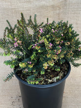 Load image into Gallery viewer, Shrub - Erica x darleyensis 'Kramer's Red Heather' (2 Gallon)