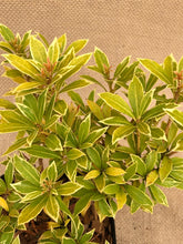 Load image into Gallery viewer, Shrub - Pieris japonica 'Little Heath' (4 Inch)