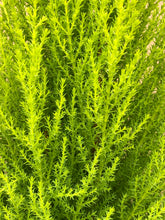 Load image into Gallery viewer, Shrub - Cupressus macrocarpa 'Wilma Goldcrest' (1 Gallon)