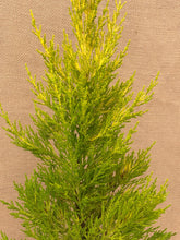 Load image into Gallery viewer, Shrub - Cupressus macrocarpa 'Lemon Scented Cypress' (1 Gallon)