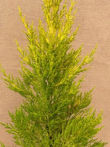 Shrub - Cupressus macrocarpa 'Lemon Scented Cypress' (1 Gallon)
