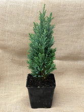 Load image into Gallery viewer, Shrub - Chamaecyparis lawsoniana 'Ellwoodii Euro Cypress'(4 Inch)
