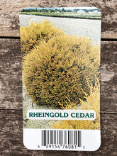 Load image into Gallery viewer, Shrub - Thuja occidentalis 'Rheingold' (1 Gallon)