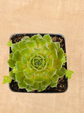 Load image into Gallery viewer, Succulent - Sempervivum 'Comander Hay Hens & Chicks' (4 inch)