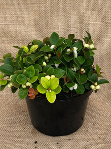 Ground Cover - Gaultheria procumbens 'Peppermint Pearl' (6 Inch)