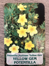Load image into Gallery viewer, Shrub - Potentilla fruticosa 'Yellow Gem' (1 Gallon)