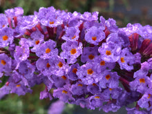 Load image into Gallery viewer, Perennial - Buddleia Davidii 'Nanho Blue Butterfly Bush' (1 Gallon)