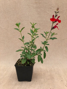 Perennial - Salvia 'Radio Red' (4 Inch)