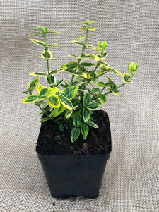 Shrub - Euonymus fortunei 'Emerald & Gold' (4 Inch)