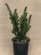 Load image into Gallery viewer, Shrub - Taxus canadensis 'Canadian Yew' (1 Gallon)