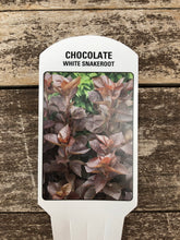 Load image into Gallery viewer, Perennial - Eupatorium 'Chocolate' (4 Inch)