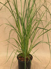 Load image into Gallery viewer, Grass - Cortaderia selloana 'Pumila Dwarf Pampas Grass' (1 Gallon)