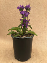 Load image into Gallery viewer, Perennial - Campanula 'Superba Clustered Bellflower' (1 Gallon)