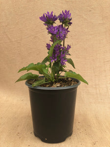 Perennial - Campanula 'Superba Clustered Bellflower' (1 Gallon)