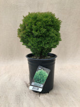 Load image into Gallery viewer, Shrub - Thuja occidentalis 'Teddy Bear' (1 Gallon)