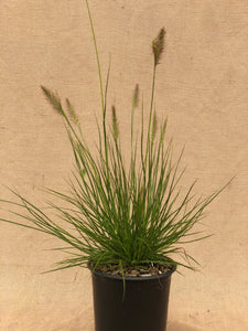 Grass - Pennisetum alopecuroides 'Little Bunny Dwarf Fountain Grass'  (1 Gallon)