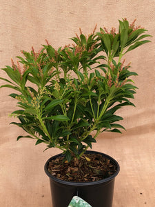 Shrub - Pieris japonica 'Purity' (1 Gallon)