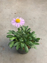 Load image into Gallery viewer, Perennial - Aster alpinus 'Beauty Mix Alpine Aster' (1 Gallon)